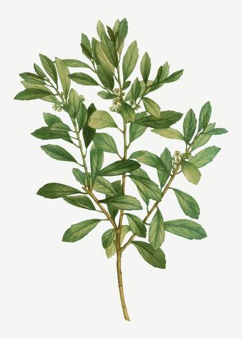 Inkberry-Pflanze