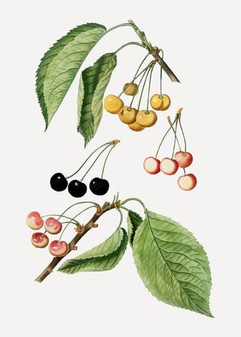 Körsbärsträdgren