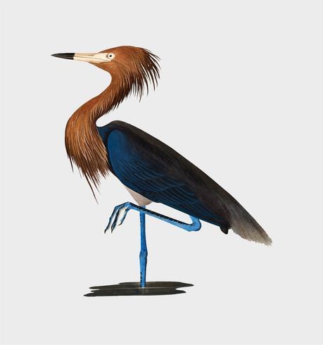 Purpurfärgad Heron illustration