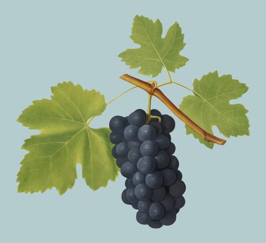 Uvas de San Colombano da ilustração de Pomona Italiana