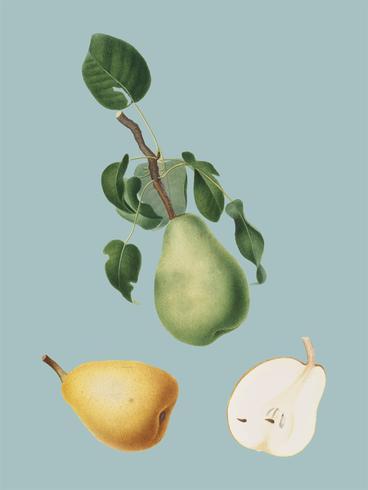 Winter citron from Pomona Italiana illustration