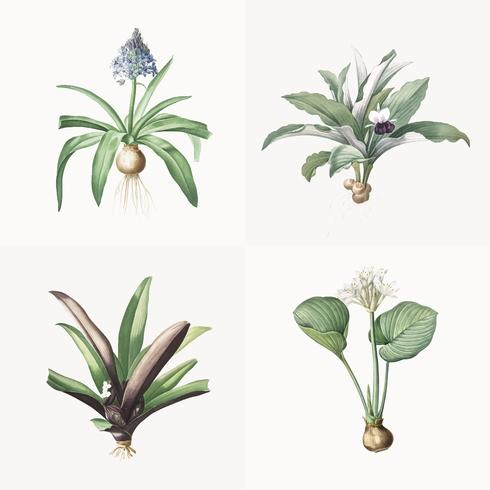 Vintage Illustration of Set of lily