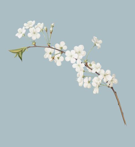 Amarenakirschblume von Illustration Pomona Italiana