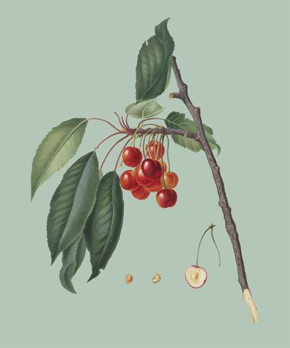 Kirsche von Pomona Italiana-Abbildung