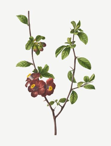 Blommande kvintträd