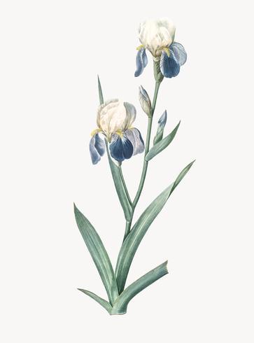 Vintage illustratie van ouderling geurende iris