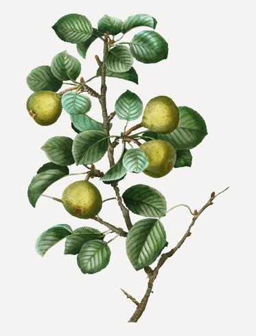 Pear Tree Branch
