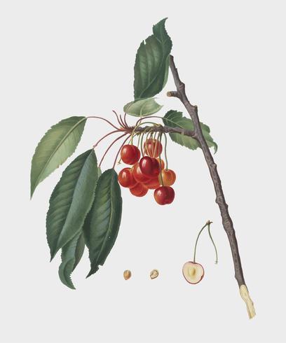 Körsbär från Pomona Italiana illustration