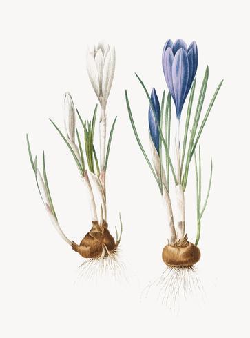 Ilustración vintage de primavera crocus