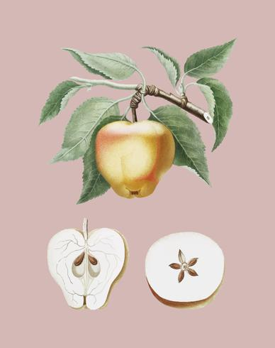Carla Apple ilustración