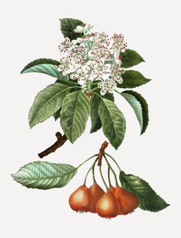 Shipova fruits