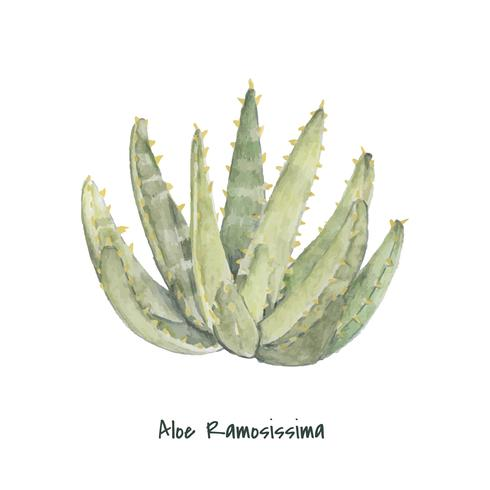 Dibujado a mano aloidendron ramosissimum planta
