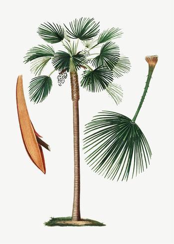 Palm fan leaf