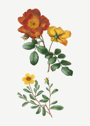 Sweetbriar rose bush