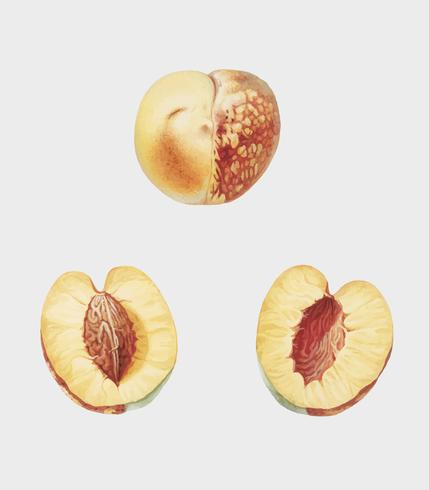 Nectarine from Pomona Italiana illustration