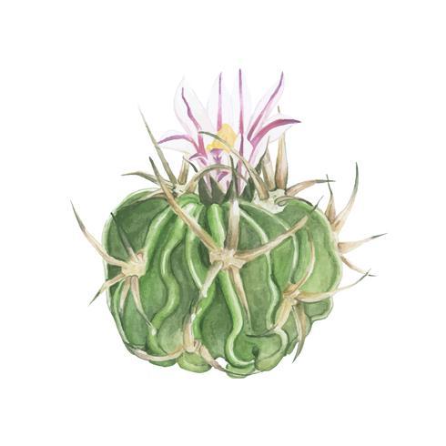 Handritad echinofossulocactus hookeri kaktus