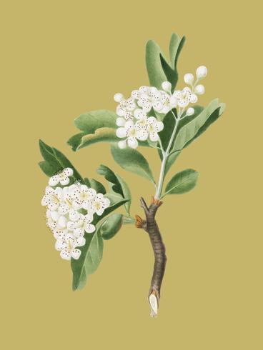 Fiore di biancospino dall'illustrazione di Pomona Italiana
