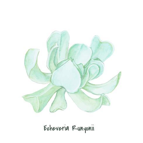 Hand getrokken succulente echeveria-runyonii
