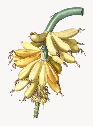 Ilustración vintage de plátano