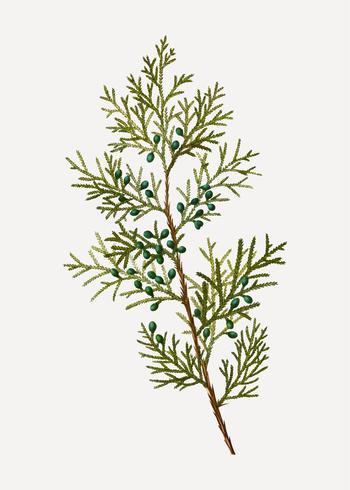 Virginian enbärbuske