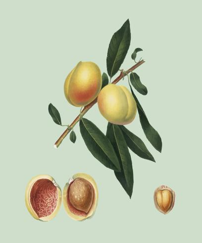 Persika från Pomona Italiana illustration