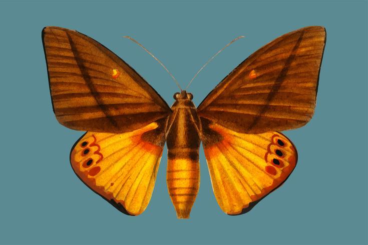 Yagra Fonscolombe (Castnia Japyx) ilustrada por Charles Dessalines D 'Orbigny (1806-1876). Mejorado digitalmente desde nuestra propia edición 1892 de Dictionnaire Universel D'histoire Naturelle.