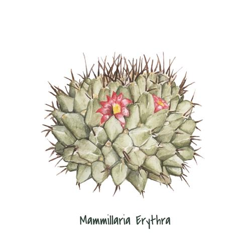 Handgezeichnete Mammillaria Erythra Nadelkissen Kaktus