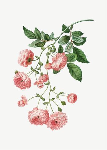 Rosa Rambler rosor