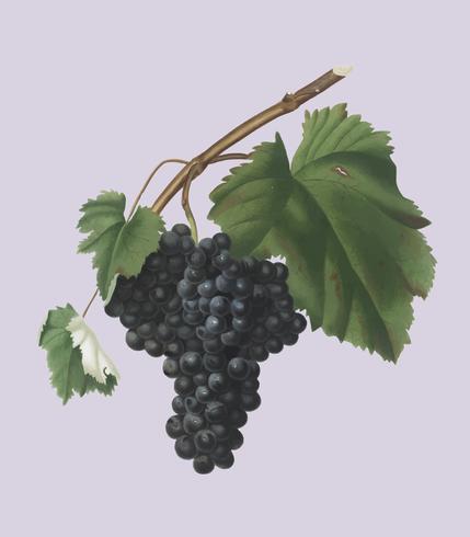 Black Canaiolo grapes from Pomona Italiana illustration
