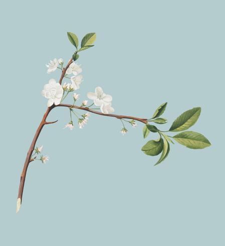 Blomma av plommon från Pomona Italiana illustration
