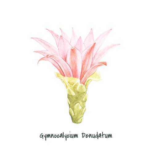 Handdragen Gymnocalycium Denudatum Spider Cactus