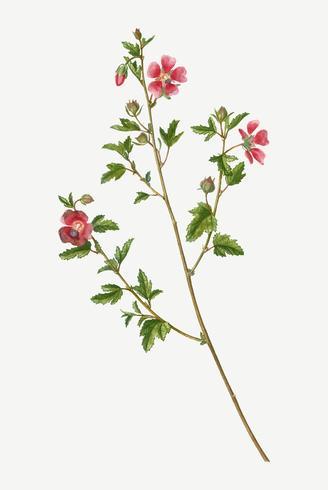 Cape African-queen blommor