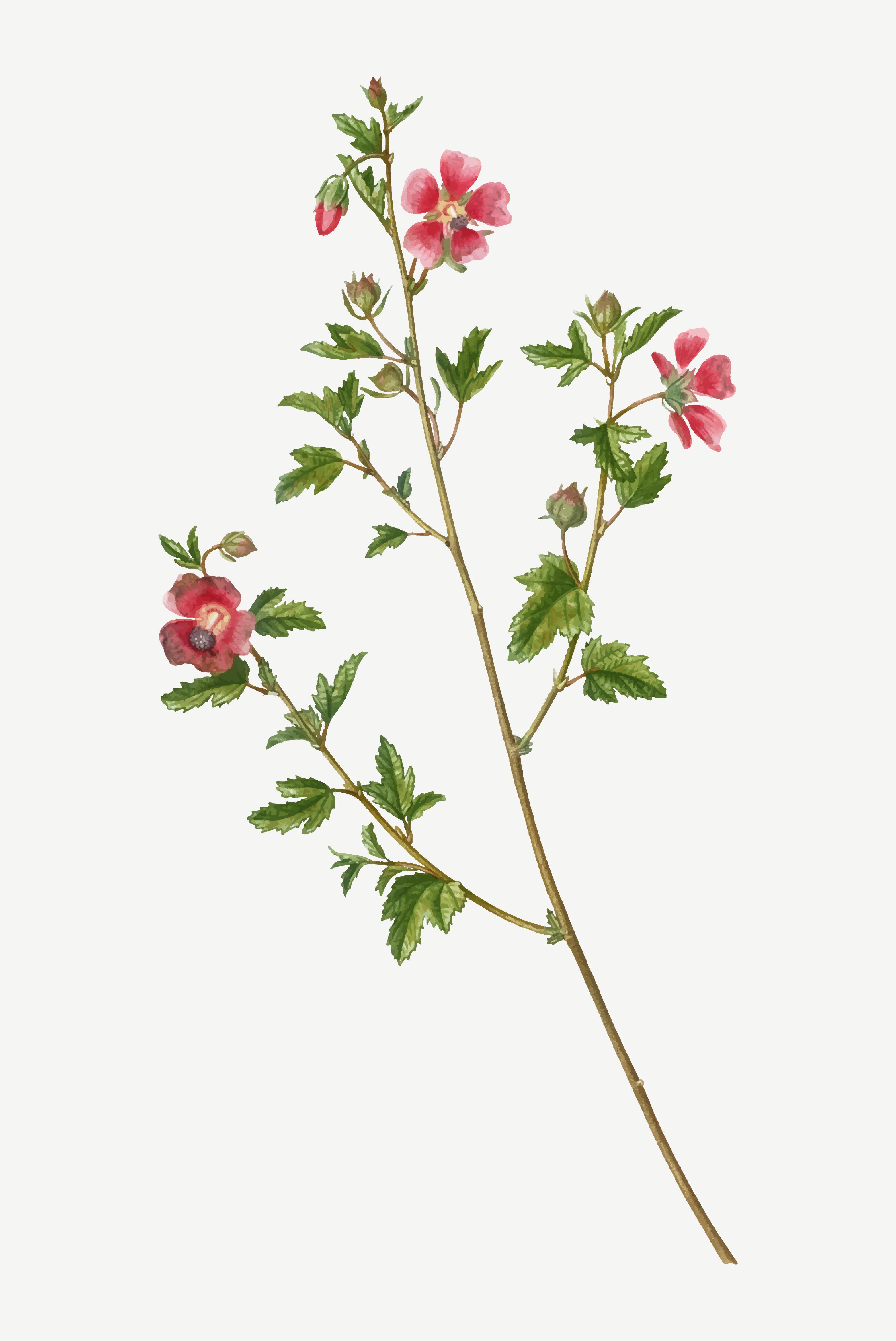 Cape African Queen Flowers Download Free Vectors