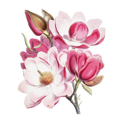 Magnólia de Campbell (Magnolia Campbellii), Planta de florescência de Ilustrações de plantas do Himalaia (1855) por WH (Walter Hood) Fitch (1817-1892). Digitalmente aprimorada pelo rawpixel.