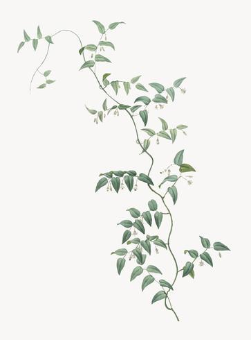 Weinlese-Illustration der Brautkriechpflanze