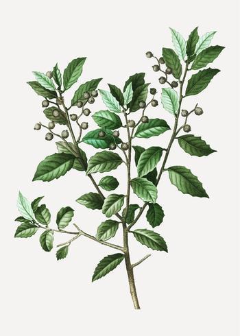 Evergreen oak branch
