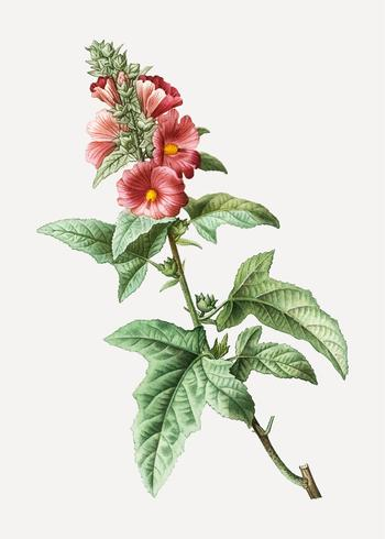Tree mallow plant