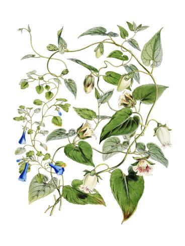 Indiase tabak (Lobelia inflata) uit Illustraties van Himalaya-planten (1855) door WH (Walter Hood) Fitch (1817-1892). Digitaal verbeterd door rawpixel.