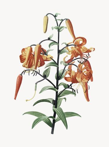 Vintage illustratie van Tiger lily