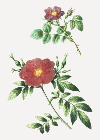 Sweetbriar rose and Virginia rose plant