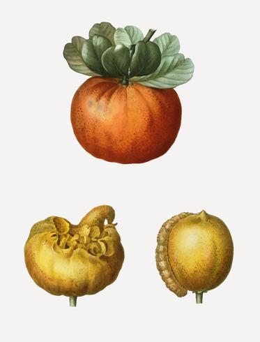 Bigarade orange fruit