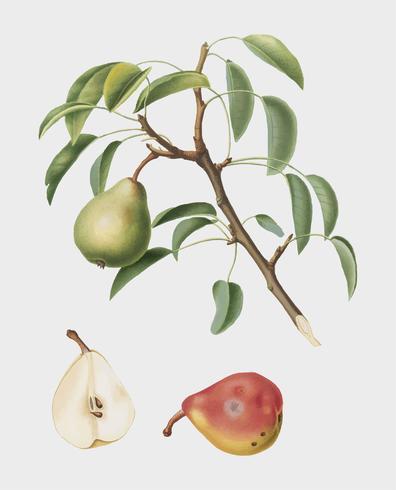 Päron från Pomona Italiana illustration