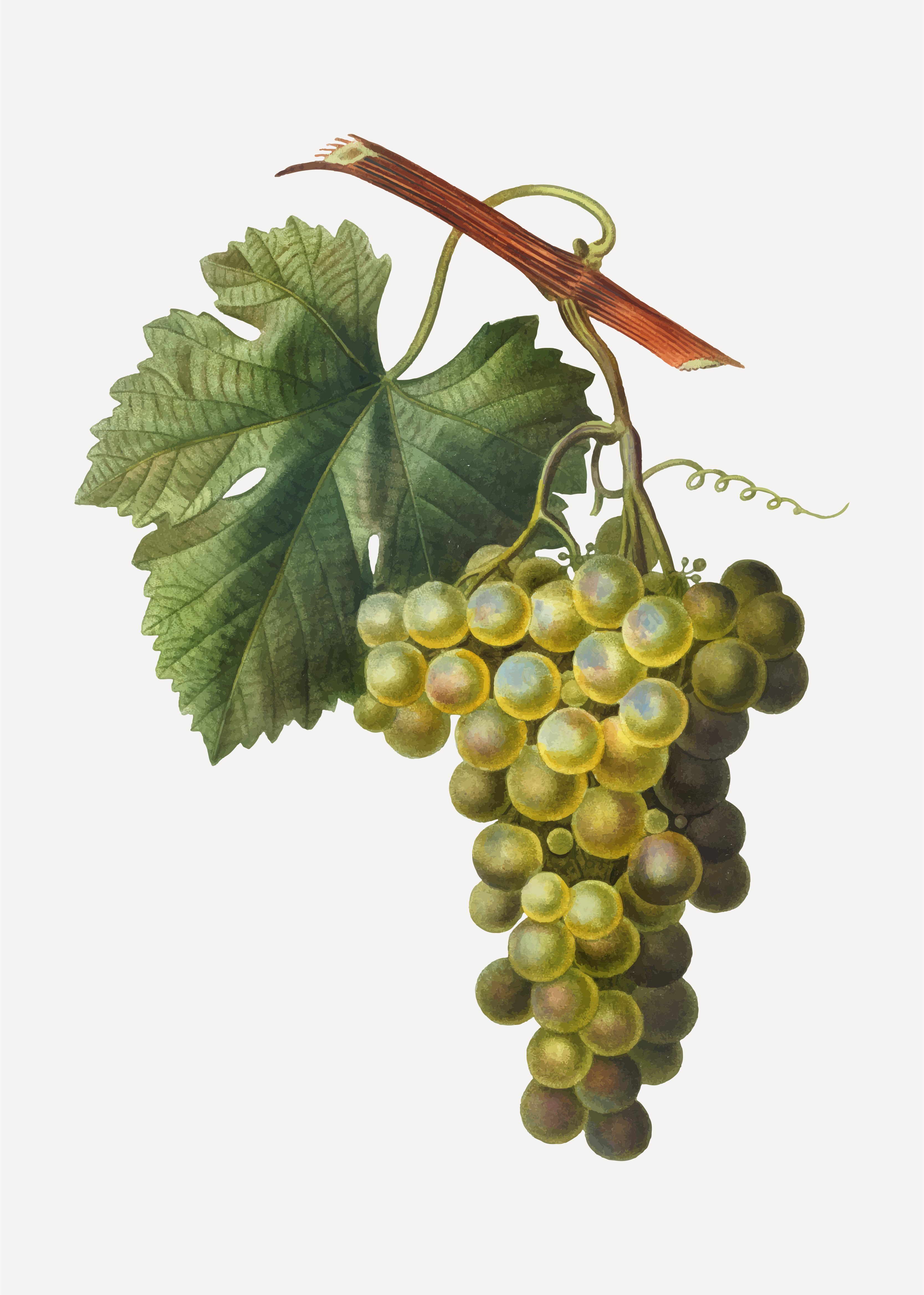 Green Grape Cluster Download Free Vectors Clipart