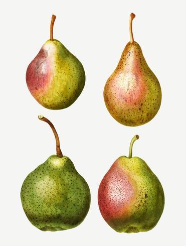 Pear types vintage drawing