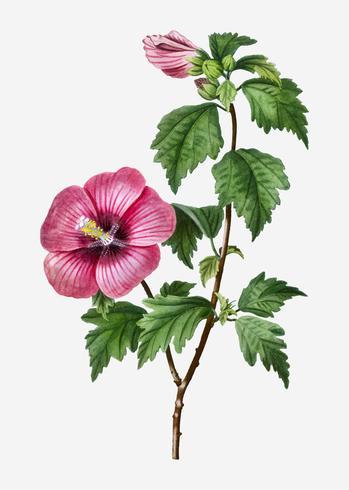 roos van Sharon