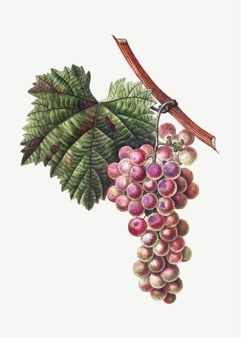 Grape cluster