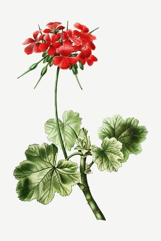 Scharlachrote Eranium-Blume