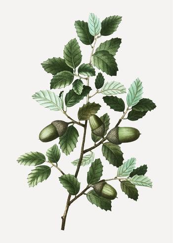 Cork oak branch