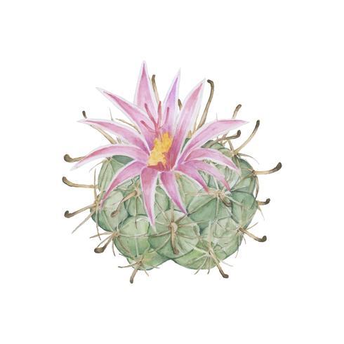 Hand drawn mammillaria wrightii pincushion cactus