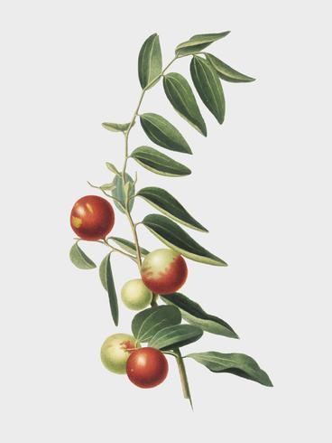 Chinesische Jujube von Pomona Italiana-Illustration
